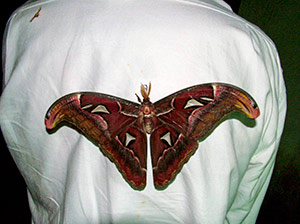 The giant Atlas moth on Dave's back