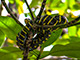 Wild life which can be seen at Greenviews – Mangrove Snake.